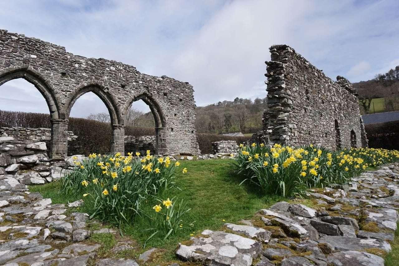 Daffodills by Cymer Abbey