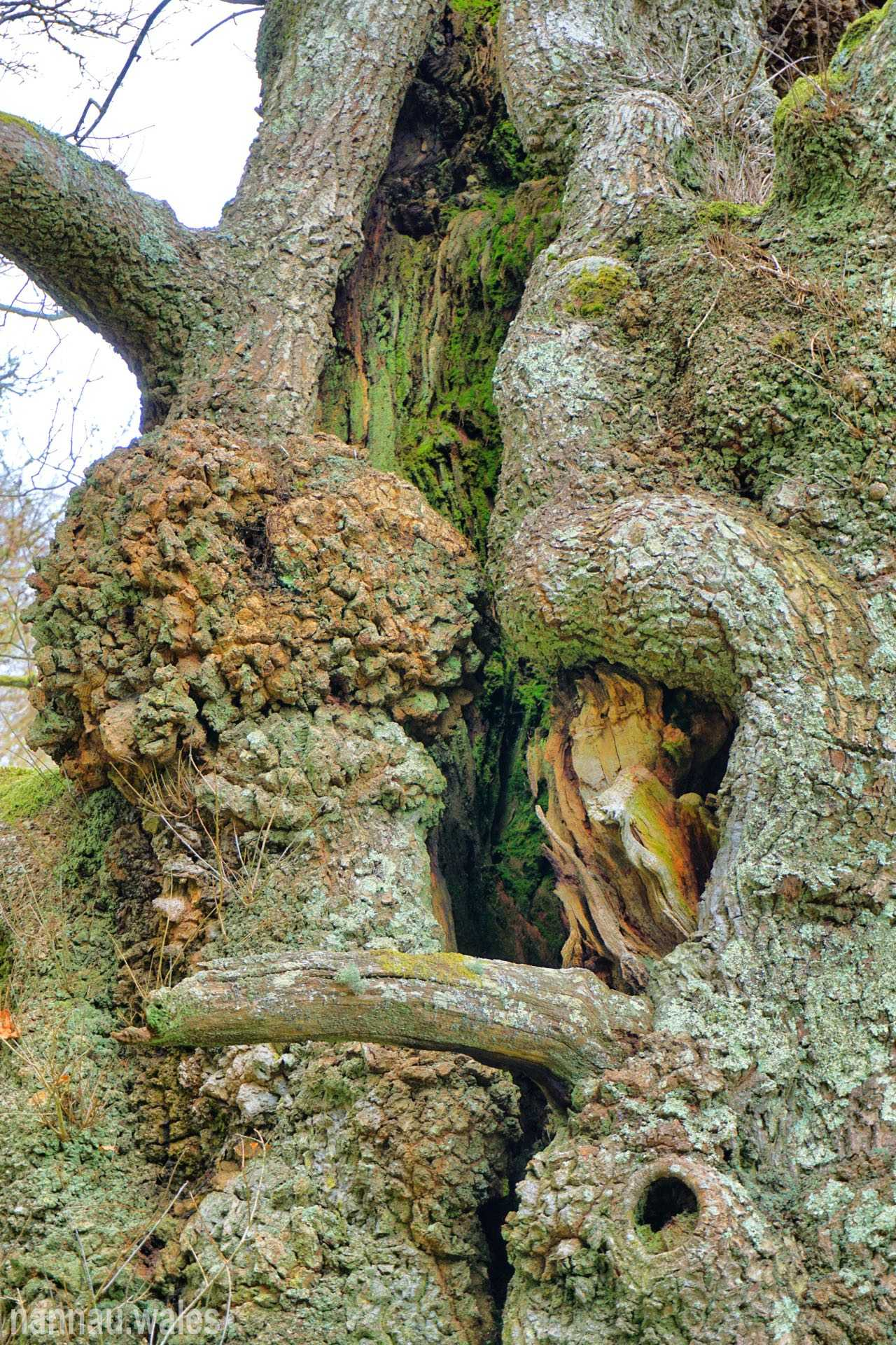 An Old Oak Tree on the Nannau Estate in 2019